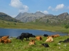 Cattle at Blea Tarn