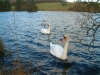 Swans on Moss Eccles tarn