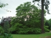 Sequoiadendron Giganteum (wellingtonia) and Fagus Sylvatica Heterophylla (cut leaf beech) at Winderwath Gardens