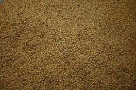 image of barley grains