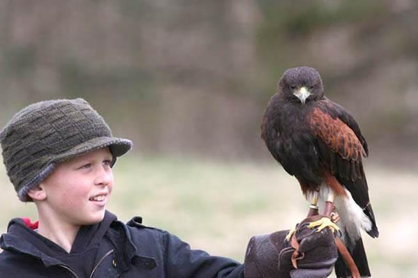 Young visitor flying a Harris at Lakeland Bird of Prey Centre' Hawk