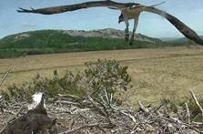 image of the osprey nest in cumbria webcam
