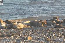 image of seals on the beach taken from the Sealcam  at South Walney Reserve in Cumbria
