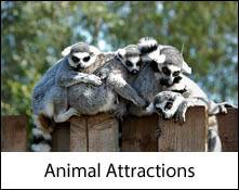 image of several lemurs on a fence serving as an image link to the animal attraction to visit in the lake district page