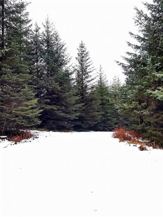 an image of a snowy walking trail and trees at grizedale forest in the lake district, cumbria