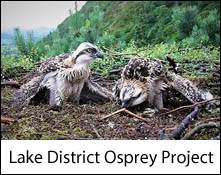 an image of two nestling ospreys in the osprey nest at bassenthwaite, seen from the osprey viewpoint, an animal attraction in the lake district