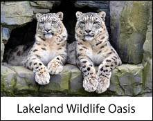 an image of two snow leopards in the lake district wildlife oasis in cumbria linking to the information page