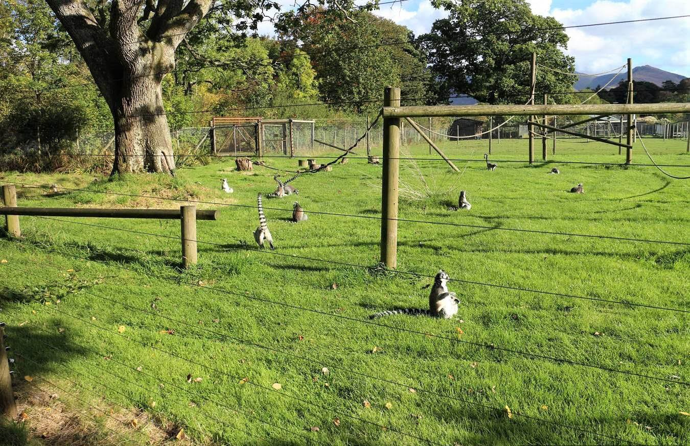 an image of several ring talied lemurs in a large paddock at the lake district wildlife park, an animal attraction in the lake district