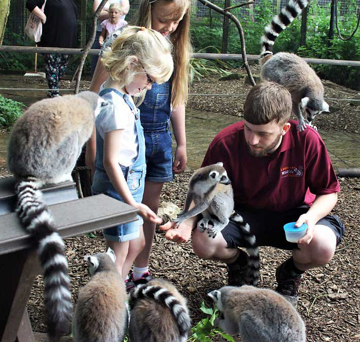 image of children feeding lemurs at the lakeland wildlife oasis in cumbria