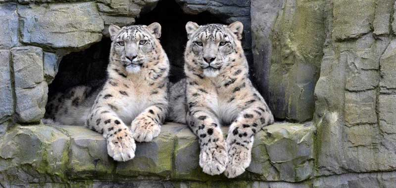 image of tow snow leopards sitting in rocks at the Lakeland Wildlife Oasis at Milnthorpe in cumbria