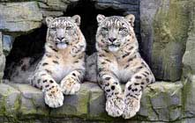 image snow leopards at a windermere attraction in the lake district