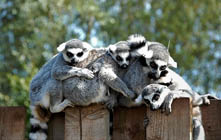 image of lemurs at The Lake District Wildlife Park