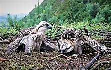 image of Osprey Watch at Dodd Wood