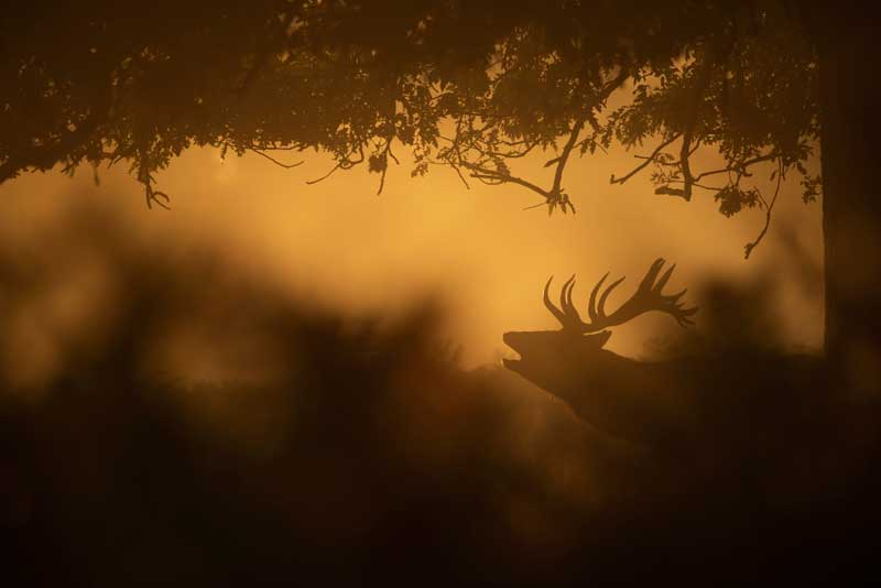 image of a red deer in rut with the rspb guided event in the Lake District