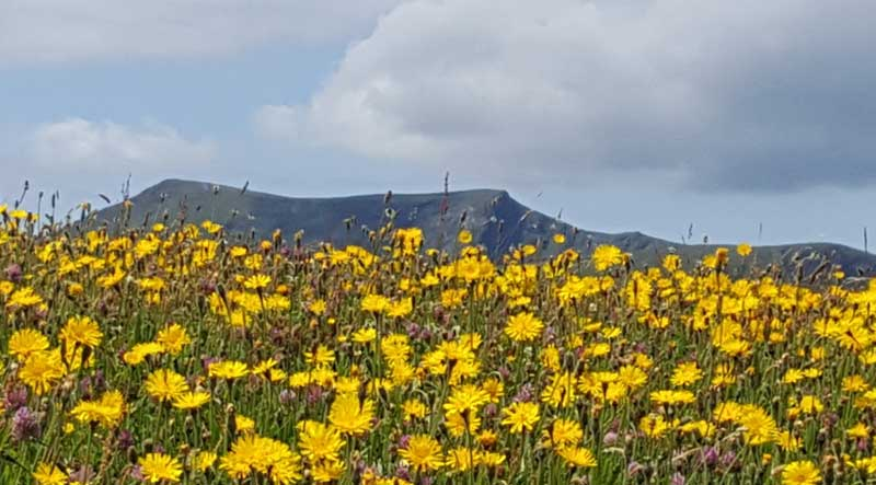 image of wildflowers at Eycott Hill nature reserve, copyright Cumbria Wildlife Trust
