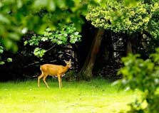 image of a deer on the edge of the Lake District camsite at Grasmere