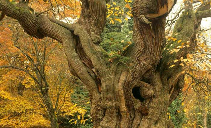 image of an old tree at The Greenwood Fair at Sizergh Castle in the Lake District