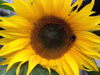 image of a sunflower and a bee