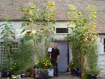 image of giant sunflowers and David Bell, the gardener near Keswick