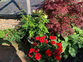 image of an acer, roses and hostas by Cockermouth gardening services