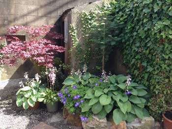 image of an acer and hostas in a Cockermouth garden