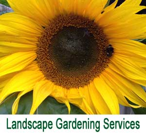 image of a Lake District sunflower for gardening services